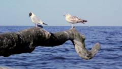 Seagulls  with heavy surf in background Stock Footage
