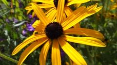 Rudbeckia fulgida goldsturm flower Stock Footage