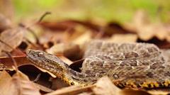 Brazilian Jararaca highly dangerous snake with ticks closeup, slow motion Stock Footage
