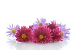 bouquet of lilac chrysanthemums - stock photo