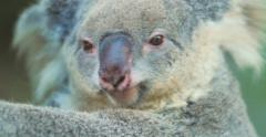 Koala bear turning head close up 4k video Stock Footage