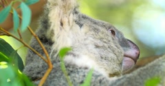 Koala bear close up profile view in green forest bushes Stock Footage