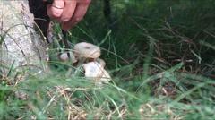 Edible wild mushroom Stock Footage