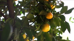 Mandarin tree, tangerine tree Stock Footage