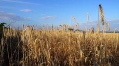 Wheat field at lake neusiedel, austria Stock Footage