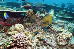 big trigger fish near corals, maldives - stock photo