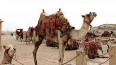 Herd of camels resting. Giza. Egypt Stock Footage