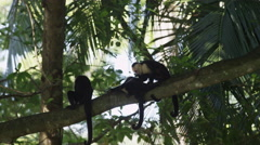 Medium shot of monkey grooming another monkey in tree / Esterillos, Costa Rica Stock Footage