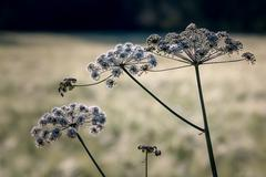 Wild angelica growing at the side of a crop field - stock photo