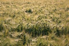 Crop field in finland - stock photo