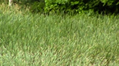Long Grass Field in Violent Winds Stock Footage