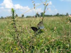 butterflies of silver-studded blue on the blade - stock photo