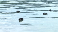 Some ducks swimming in a clear water lake, austria. Stock Footage
