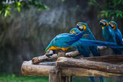 Blue-and-yellow macaw (ara ararauna), also known as the blue-and-gold macaw Stock Photos