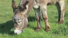 Donkey grazing closeup view Stock Footage