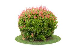 Colorful shrub of short Christina tree isolated over white background. - stock photo