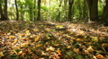 sunny autumn   wood  . Steadicam shot like animal view HD Footage