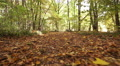 sunny autumn  road in wood  . Steadicam shot like animal view. . Footage
