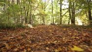 Stock Video Footage of sunny autumn  road in wood  . Steadicam shot like animal view. .
