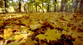 Wonderful  autumn  in  wood with bright  yellow leaves. Dolly shot HD Footage