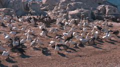 Blue-Eyed Cape Gannet 7 Stock Footage