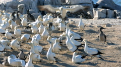 Blue-Eyed Cape Gannet 4 Stock Footage