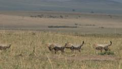 Very young cheetah cubs walking in the plains Stock Footage