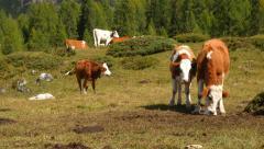 Cows in dolomite alps pan three peaks audio 11529 Stock Footage