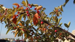Crab Apple tree against a blue sky Stock Footage