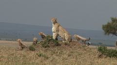 Mother cheetah and cubs on an anthill Stock Footage