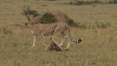 Mother cheetah walking with cubs Stock Footage
