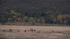 Rocky mountain elk herd Stock Footage