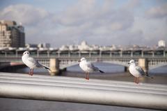 Seagulls sitting on millenium bridge in london. Stock Photos