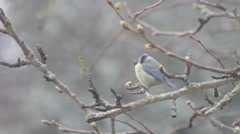 Blue TIt on Branch Stock Footage