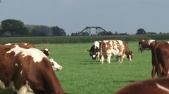 Raised dredge pipes across river dike + zoom out Red Holstein cattle grazing Stock Footage