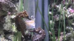 2 Seahorses Feeding Stock Footage
