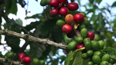 Coffee plants, cherries Stock Footage