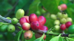 Coffee plants, stems and leaves Stock Footage