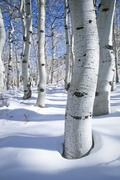 Trunk of quaking aspen in soft, fresh white winter snow Stock Photos