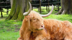 Highland Cattle Close up Stock Footage