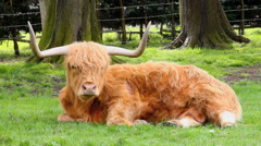 Highland Cow Close up Stock Footage