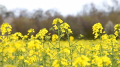 Vivid yellow Rape seed flowers in the breeze - stock footage