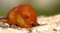 Red slug aka Chocolate arion, Arion rufus Stock Footage