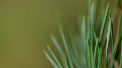 Detail of pine needles Stock Footage