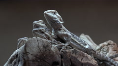 4K Baby Lizards Pile On Rocks - stock footage