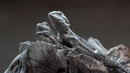 Stock Video Footage of 4K Baby Lizards Pile On Rocks