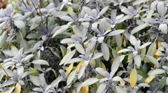 Sage, medical plant - stock footage