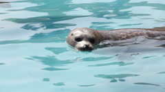 Common (Harbour) Seal pup relaxing in the water. Stock Footage
