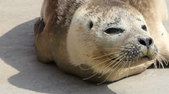 Close up of beautiful Common (Harbour) seal pup basking in the sunshine. Stock Footage