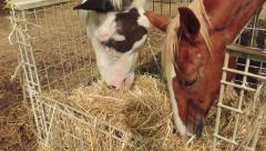 Horses Eating Hay Stock Footage